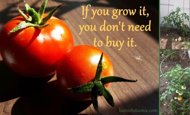 My tomatoes